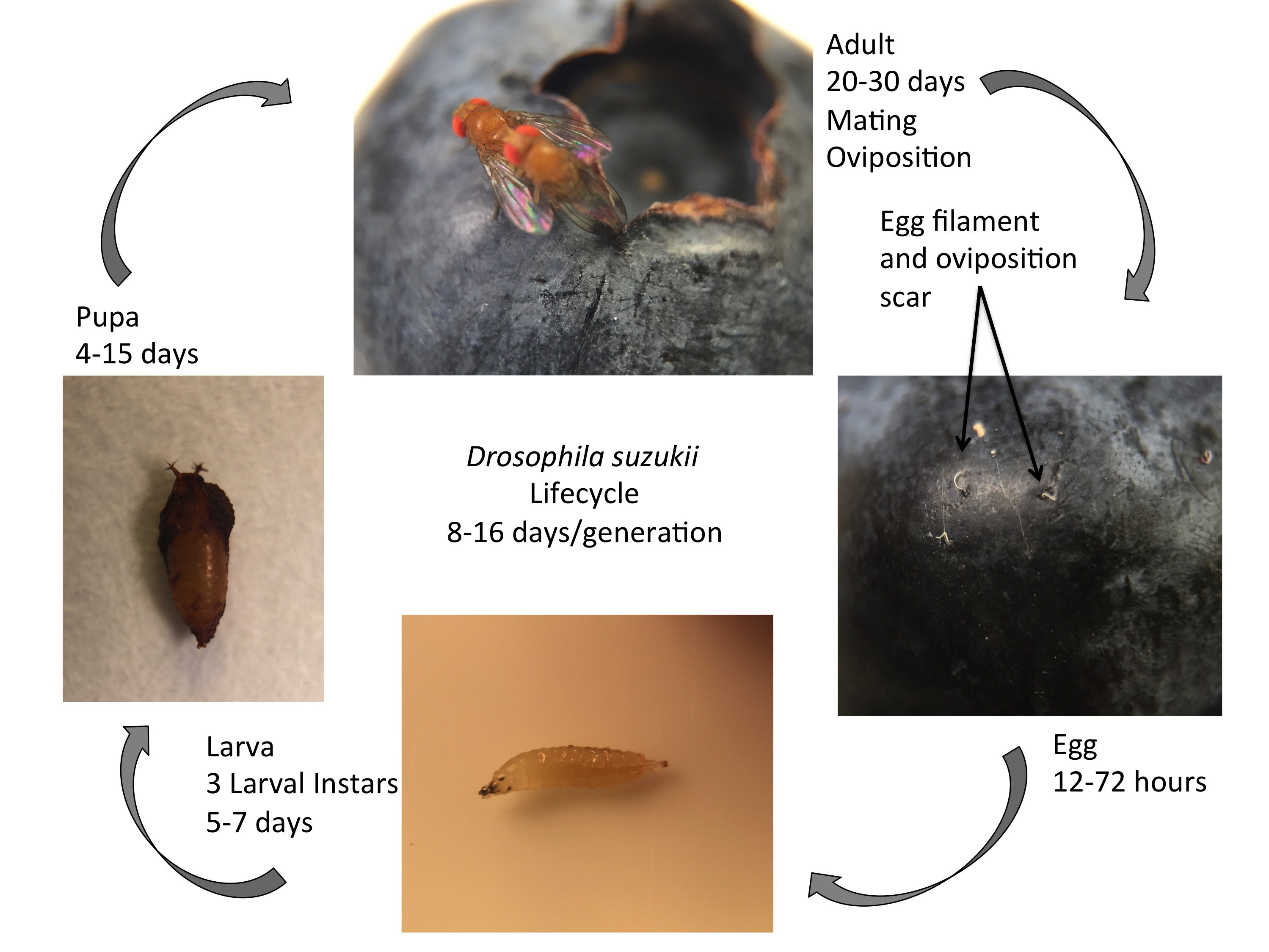 Lifecycle of Suzukii